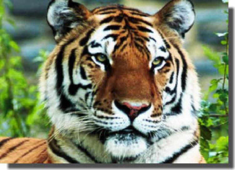 Tiger l'osmose